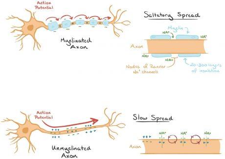 Myelinated vs Unmyelinated Axon