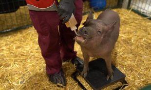 کاشت الکترود در مغز خوک